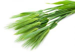 Ячмінь та Пшениця люблять органічни добрива від виробника