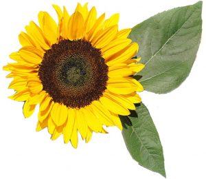 Соняшник - замовити еко добрива